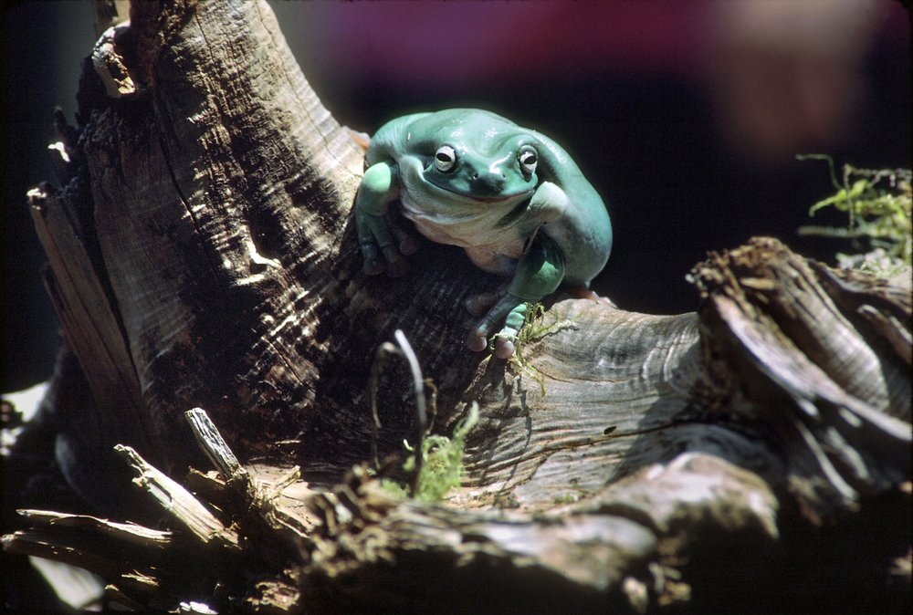 Whites Tree Frog (Litoria caerulea)