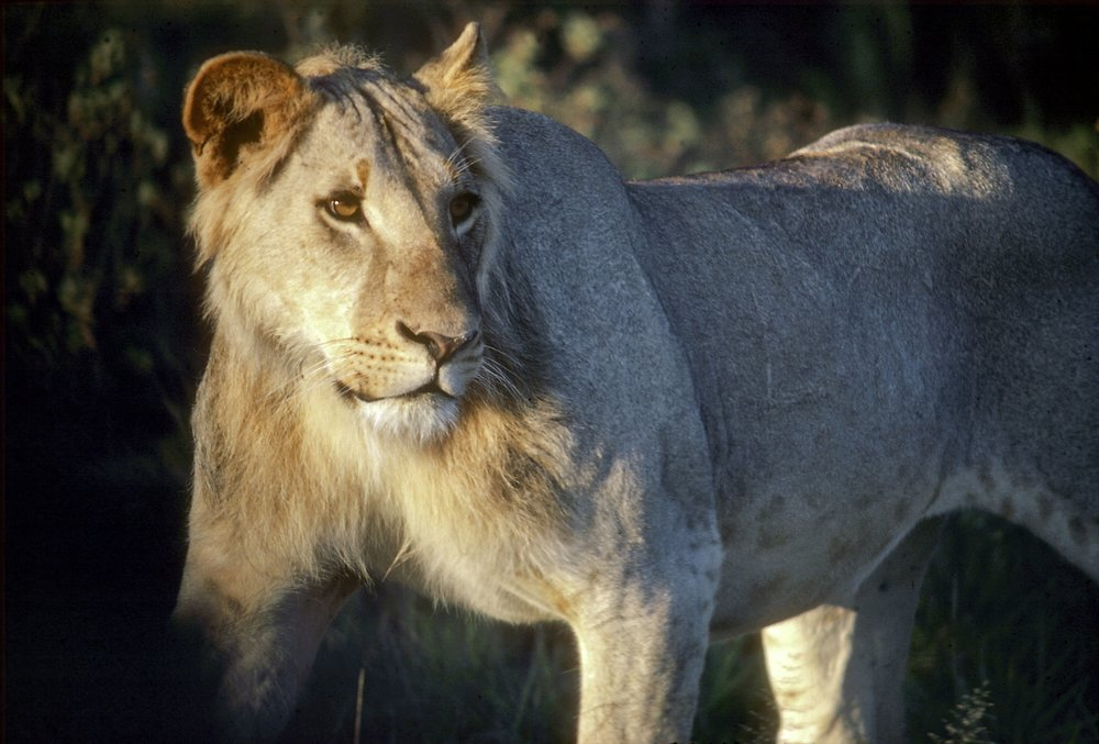 A young male lion ( Panthera leo ) in the morning light in Amboseli Kenya.