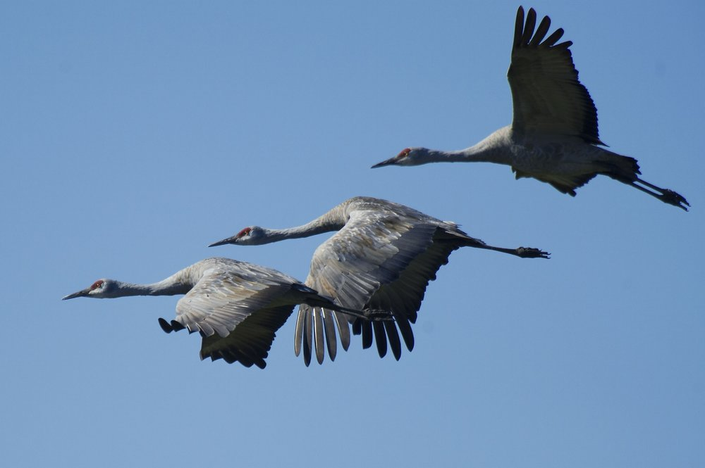 Sandhill Cranes (Grus canadensis) fly over Staten Island near Thornton, California on Thursday, October 31, 2013.