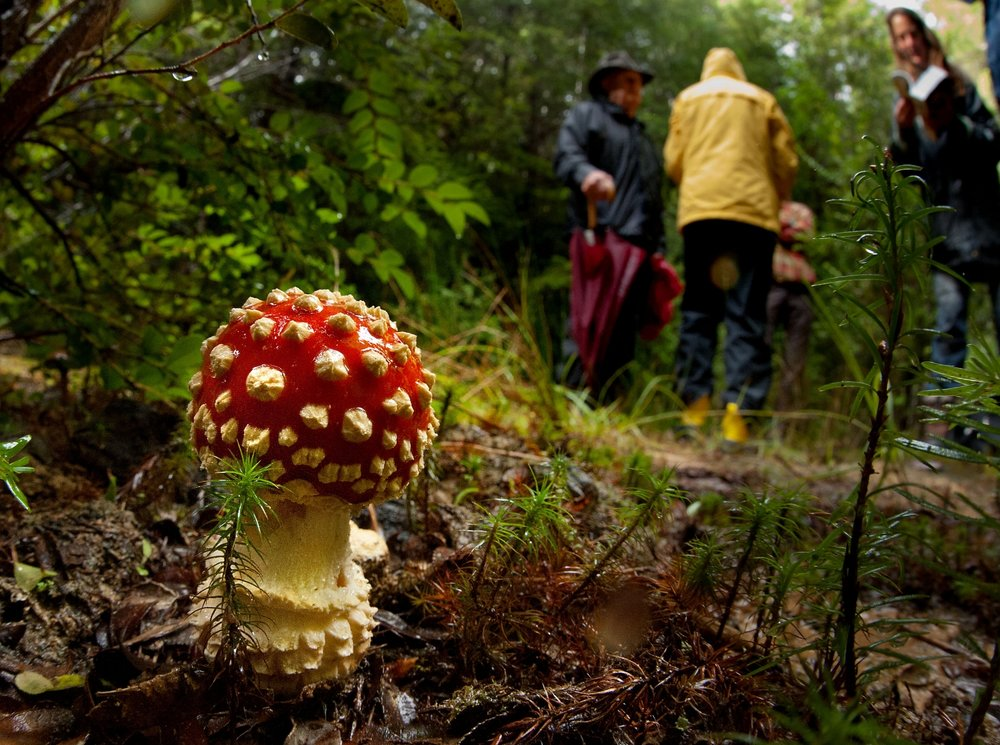 A mushroom called 'Fly Agaric' (Amanita muscaria) in Mendocino on Thursday, November 8, 2012.