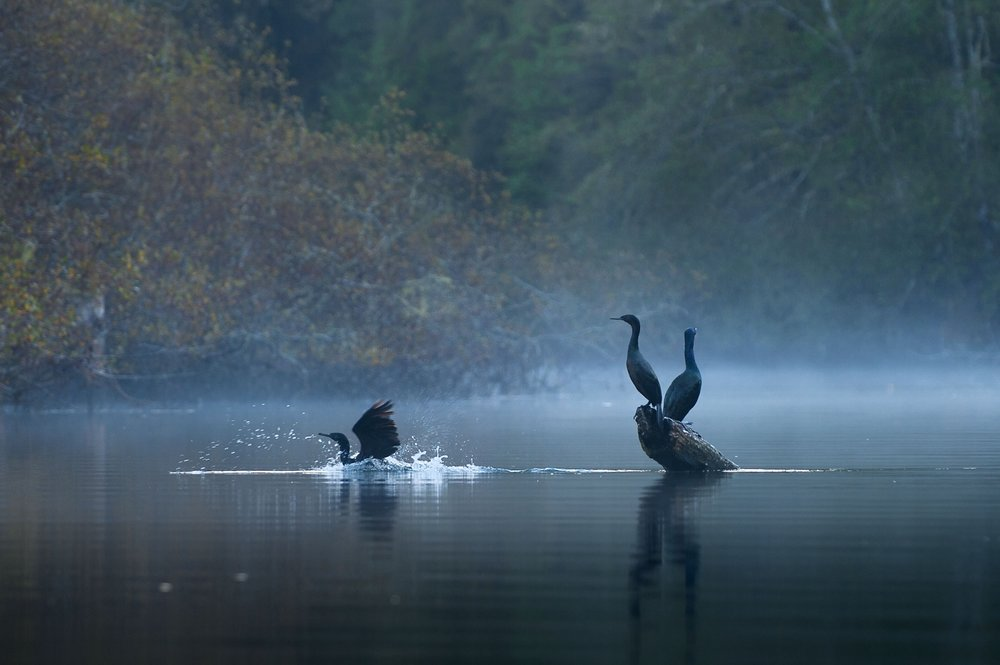 A pair of pelagic cormorants (Phalacrocorax pelagicus) sun themselves on a log, right, as a third splashes into the water on the Noyo River in Fort Bragg on Friday, November 9, 2012.