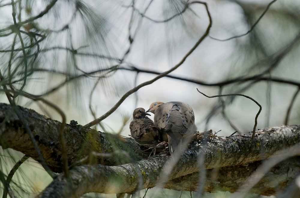 A mourning dove (Zenaida macroura) tends to its young in a nest in El Dorado on Monday, May 18, 2009.