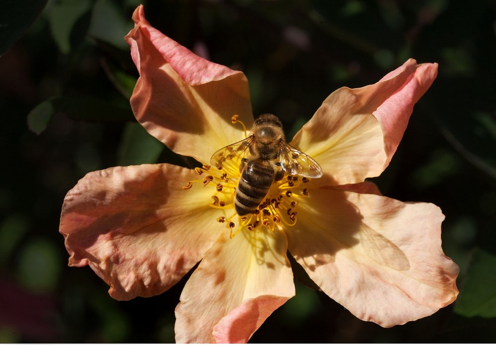 A honey bee (Apis mellifera) gathers pollen from a flower in Davis on Tuesday, August 17, 2010.