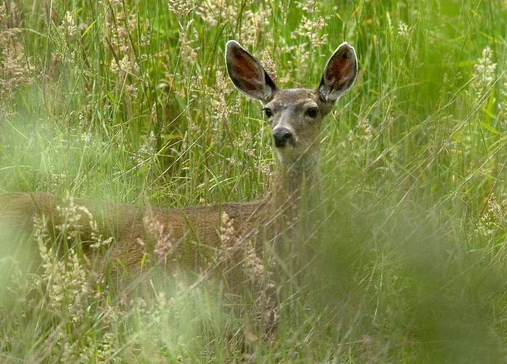 A Columbian black-tailed deer (Odocoileus hemionus columbianus) in a meadow in Olema on Monday June 12, 2006.
