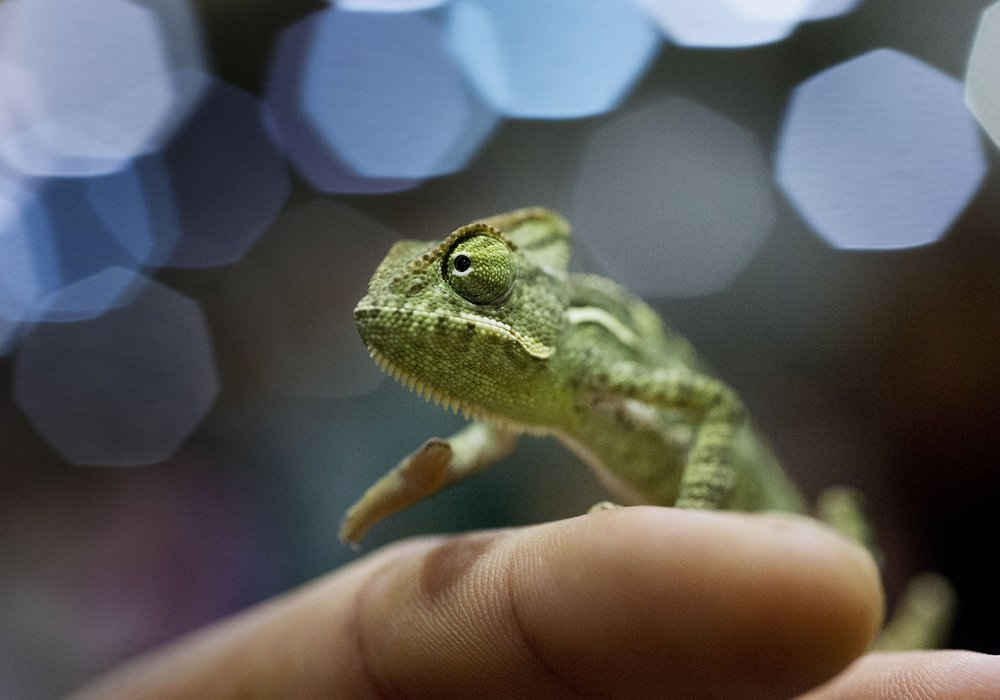A baby veiled chameleon (Chamaeleo calyptratus) walks on the finger of Zach Shpizner in Sacramento on Saturday, September 29, 2012.