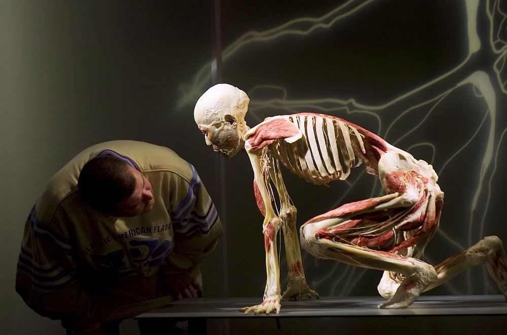 A visitor examines a human body displayed at the Bodies Revealed exhibit in Sacramento on Tuesday December 4, 2007.