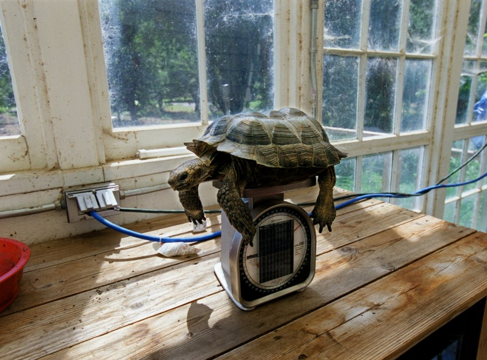 A 30 year old California Desert Tortoise gets weighed at the home of Suzi Wilson in Walnut Grove on Thursday August 29, 2002. Wilson recently started a turtle and tortoise rescue to save the animals injured by local fishermen. The tortoise weighs 7.5 pounds.