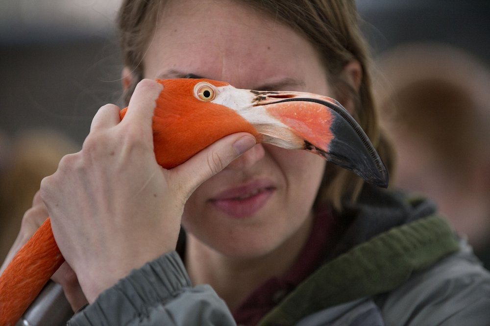 UC Davis Veterinarian Resident Miranda Sadar examines the eyes of a flamingo during the Zoo's annual flamingo roundup at the Sacramento Zoo in Sacramento on Thursday, February 27, 2014.