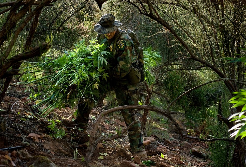 El Dorado County Sheriff's Sergeant James Byers  dismantles a illegal marijuana garden in a remote area of El Dorado county on Thursday, August 20, 2009.