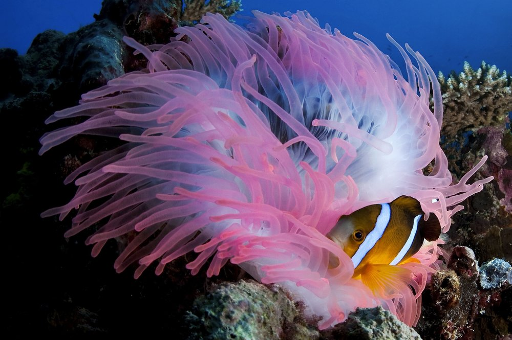An Orange fin clownfish (Amphiprion chrysopterus) rests among the tentacles of an anemone at German Channel dive site in Palau on Saturday, December 12, 2010.