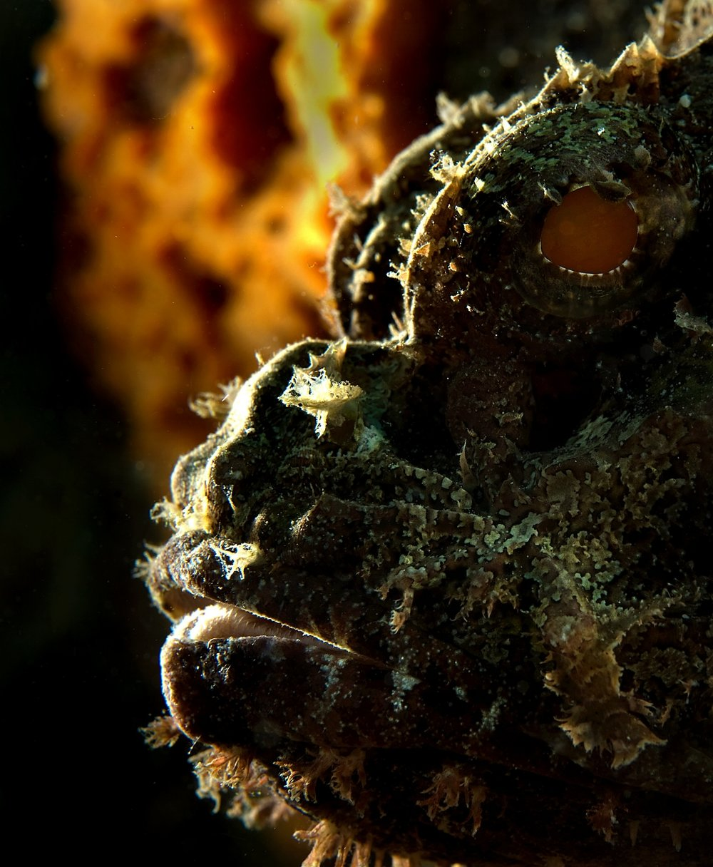 A Scorpion fish (Scorpaena plumieri) lies motionless on a coral head in Bonaire, Netherlands Antilles on Wednesday, June 10, 2009. These fish are very difficult to spot as their camouflage is so effective. They lie still, visually blending into the surrounding rocks and feed by sucking smaller fish into their mouths. They also have venomous spines on their dorsal fins for protection.