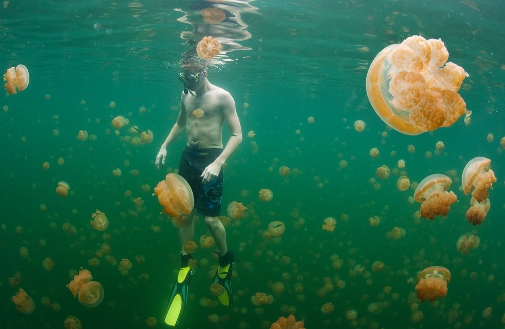 A snorkeler is surrounded by millions of non-stinging Golden jellyfish (Mastigias cf. papua etpisoni) at Lake Ongeim'l Tketau – popularly known as Jellyfish Lake – in Palau on Friday, December 17, 2010.