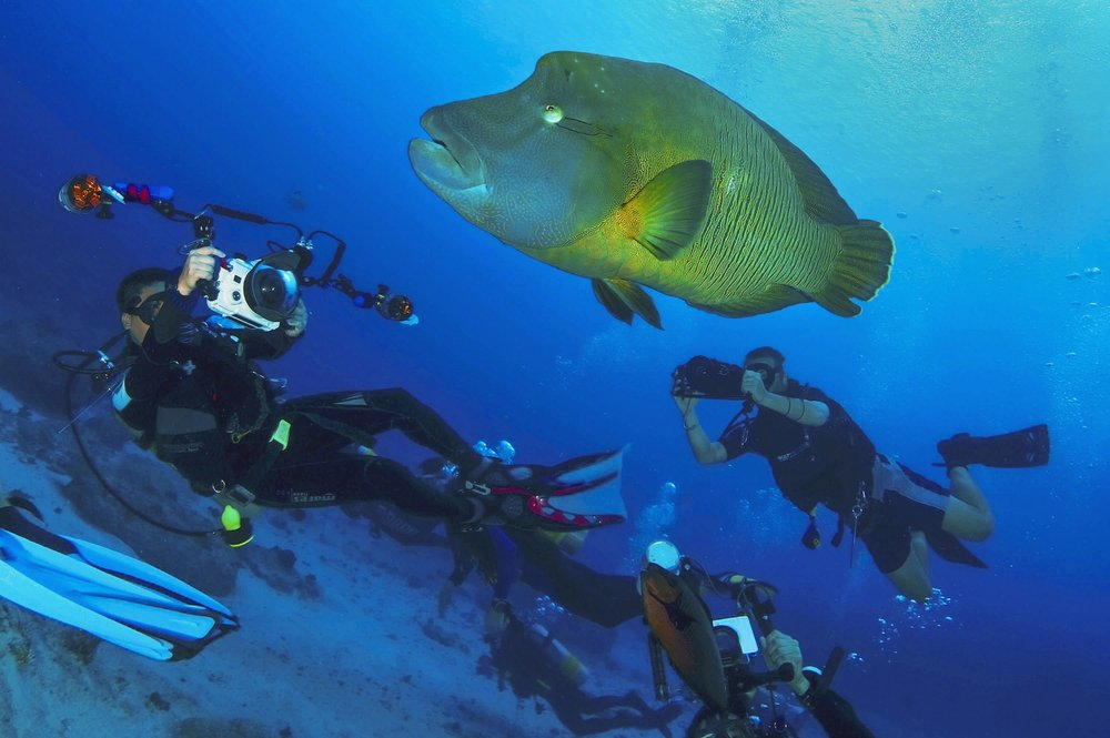 Divers photograph a large Napoleon wrasse (Cheilinus undulatus) at Blue Corner dive site in Palau on Saturday, December 12, 2010.