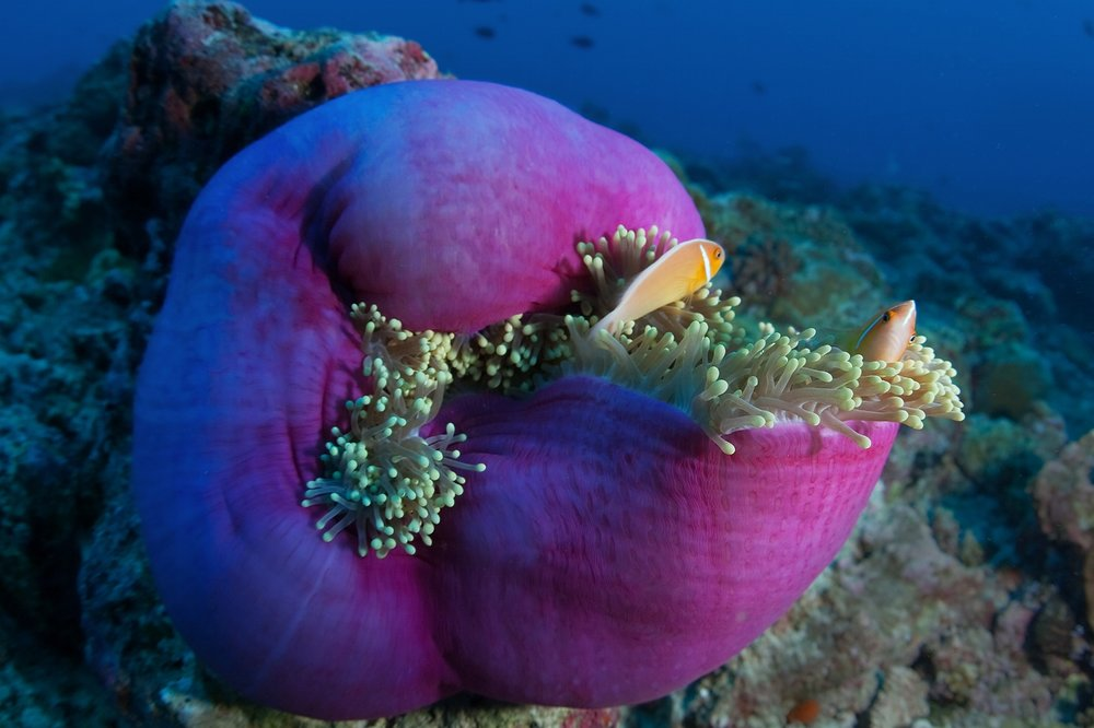 A pair of Pink skunk clownfish (Amphiprion perideraion) among the tentacles of an anemone at Blue Corner dive site in Palau on Tuesday, December 14, 2010.