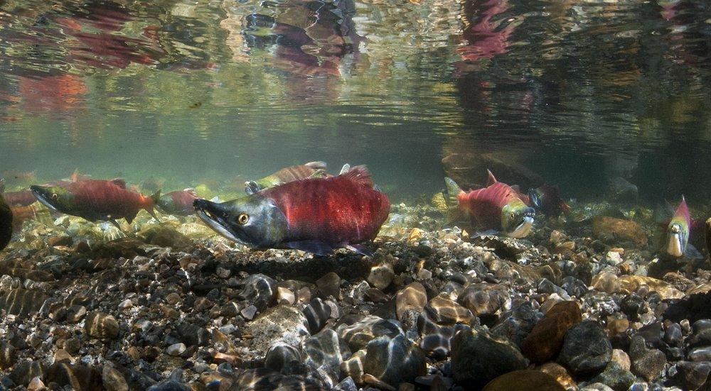 Mature Kokanee salmon spawn along Taylor Creek near Lake Tahoe on Thursday, October 4, 2012.