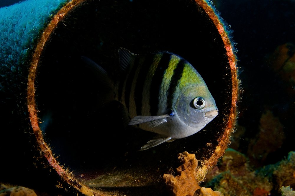 A Sargeant Major (Abudefduf saxatilis) swims through a section of pipe at 'Bari Reef' in Bonaire, Netherlands Antilles on Monday, June 8, 2009. These colorful 6-inch long fish are aggressively territorial and common throughout the Caribbean.
