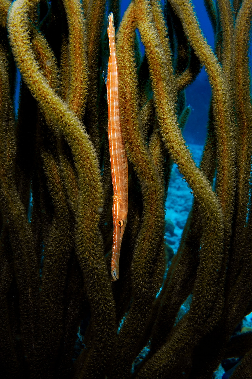A Trumpet fish (Aulostomus maculatus) swims vertically among a gorgonian at 'Bachelor Beach' dive site in Bonaire, Netherlands Antilles on Monday, June 8, 2009. Trumpet fish are usually seen swimming vertically to hide among corals and marine plants. They are ambush predators that feed on smaller fish and shrimps.