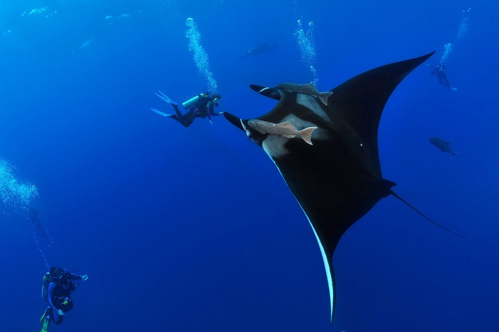 "Diver Darlene Ott approaches a giant manta ray (Manta birostris) at a dive site called 'El Boiler"" at the Revillagigedo Islands on Thursday, May 28, 2010. (Though she appears to be touching the manta, she is actually several feet further from the camera than the manta is.)"