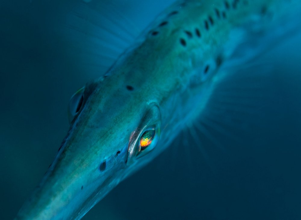 The eye of a Caribbean Trumpet fish (Aulostomus maculatus) refracts light into multiple colors in Bonaire on Sunday, April 1, 2012.