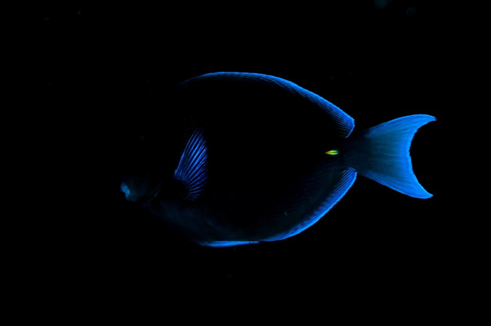 The lips, fins, and tail of a Blue tang   (  Acanthurus coeruleus) in Bonaire on Tuesday, August 11, 2015