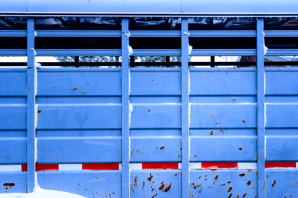 Icicles of spring dangle ever so delicately from a horse trailer.  Truckee, CA