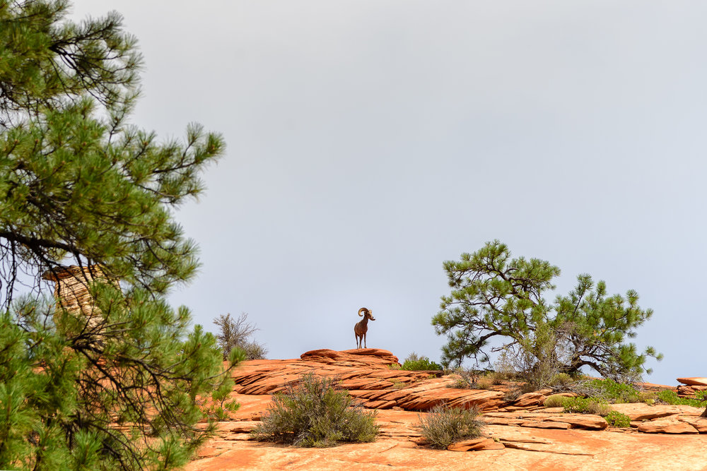 With two bighorn sheep a mere 30 yards away, it was no surprise that others appeared above us to investigate the situation.  Zion National Park, UT.