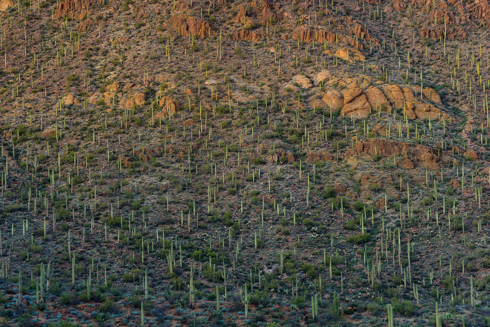 Saguaro carpeting.  Tucson Mountain Park, AZ.