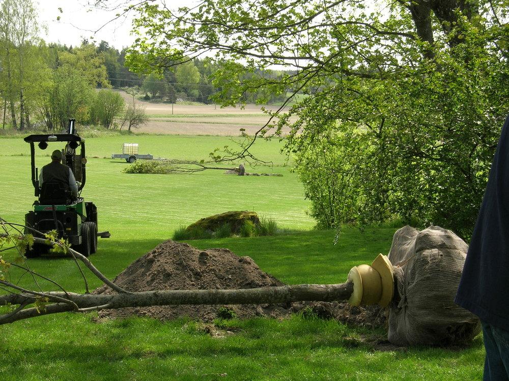 Suurien puiden siirto ja istutus.