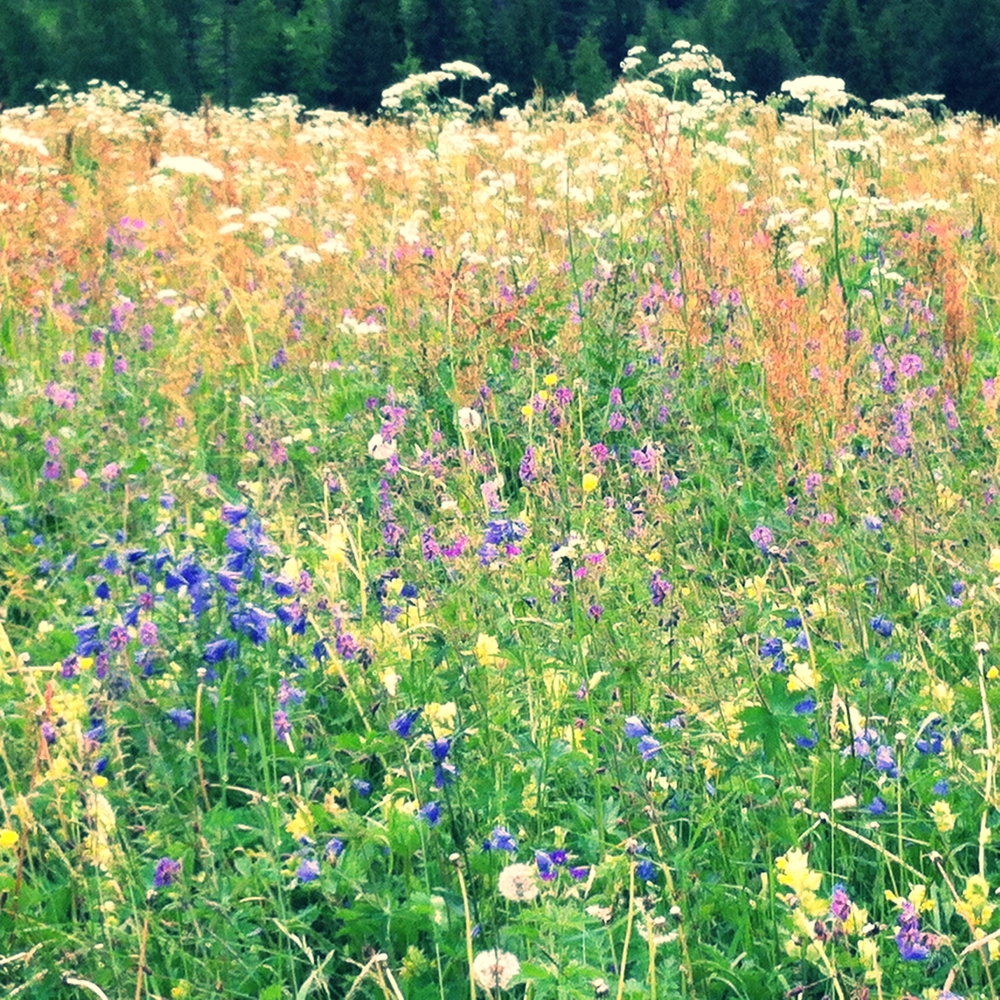 Alpine wildflower meadow