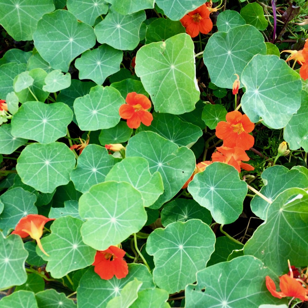 nasturtiums taking over my vegetable garden