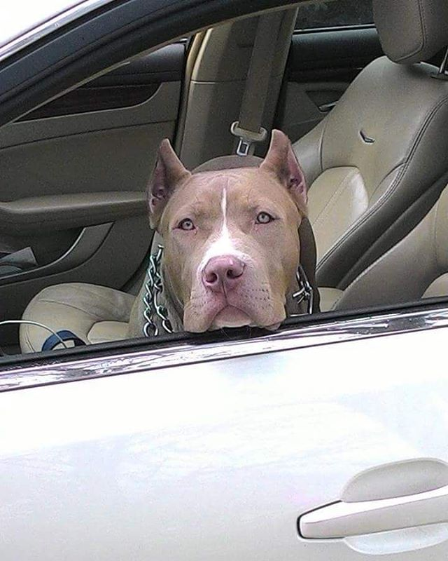 Remember...it's HOT outside. Love me? Keep me cool if I'm riding with you! #loki #pitties #doglover