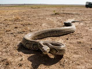 African rock python - the largest snake in Africa, non-venomous common in rural areas reaching up to a 6m or more in length. It kills prey by constricting them.