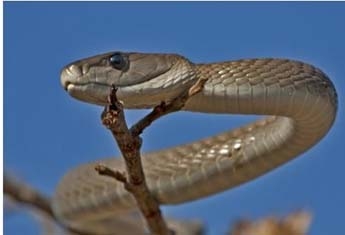Black Mamba - the longest venomous snake in Africa- up to 4.5m long. It is said by some to be the fastest snake in the world, able to travel at 20km/h! Its venom is neurotoxic.