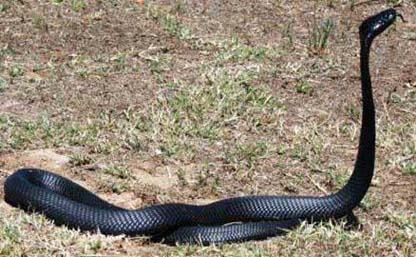 Black- necked spitting cobra - quite common, sprays venom when cornered. Its venom is neurotoxic. Cover your eyes as theses snakes are short sighted and will spit at anything that glints!