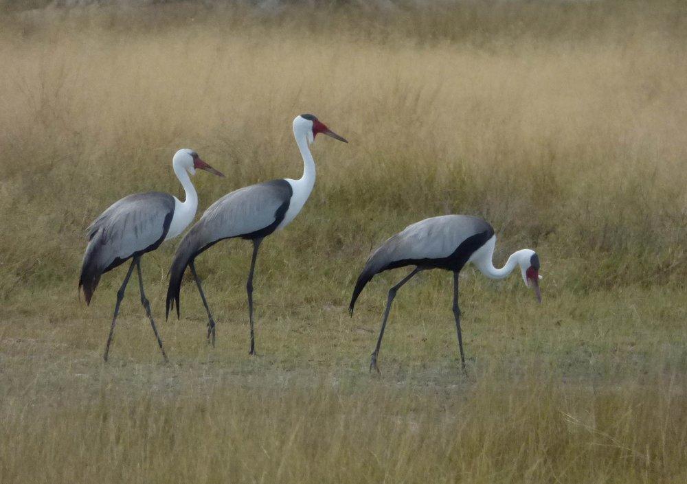Zambian Crane