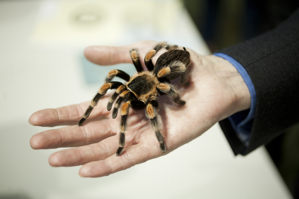 Friendly Spider Programme, Zoological Society of London. Mexican Red-Kneed Bird-Eating Spider (Brachypelma smith).   TimeOut