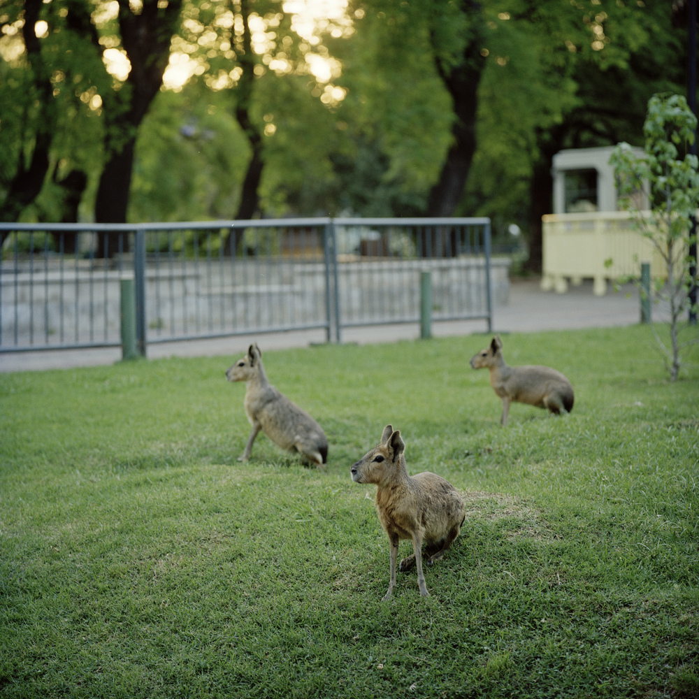 Three maras on the grounds of the Buenos Aires Zoo.