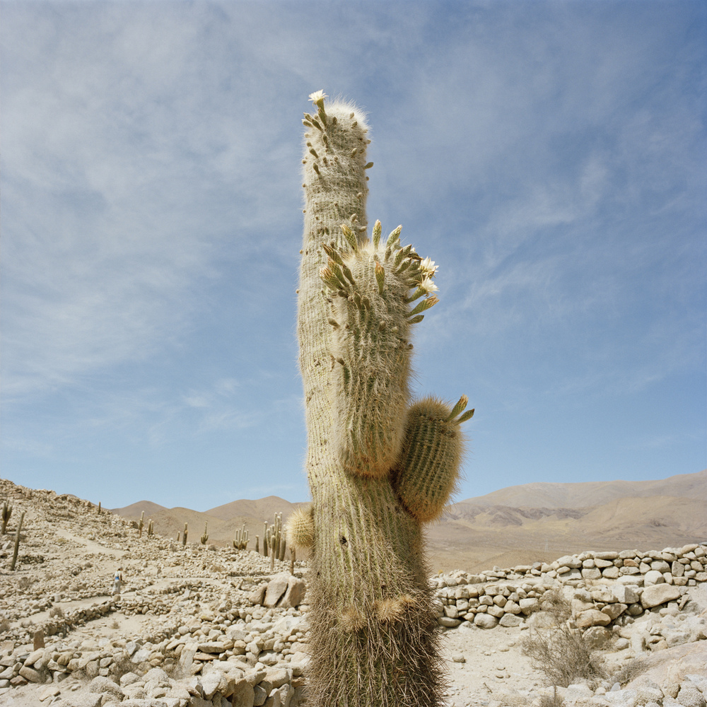Salta Province. Santa Rosa de Tastil. Cactus called 'Old Man of the Andes' (Oreocereus celsianus) at a pre-Incan ruins (14th to 15th century). Altitude at this location is 3,200 meters (10,500 feet).