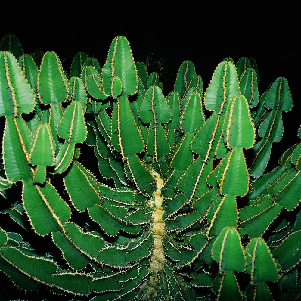 Night Cactus 037