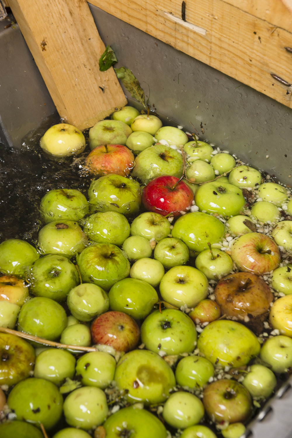 Apples being washed before pressing at Hawkes Cider.