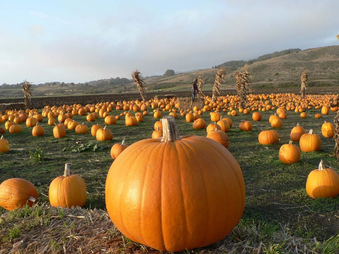 Pumpkins along Highway 1 in Half Moon Bay  (photo by  http://pumpkinfest.miramarevents.com/)