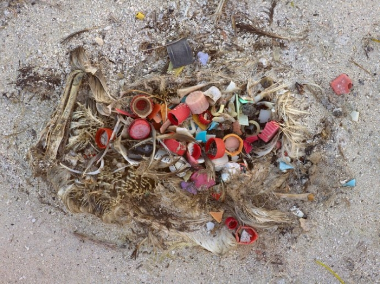 The sad reality of trash inside a bird. (photo by Chris Jordan/Smithsonian)