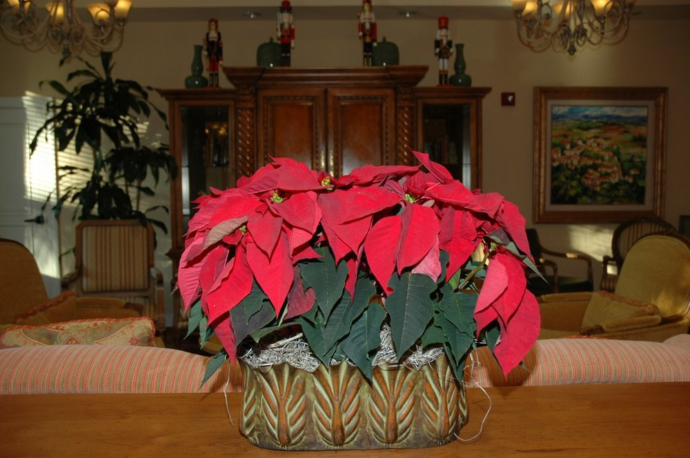 Paul Ecke Poinsettia