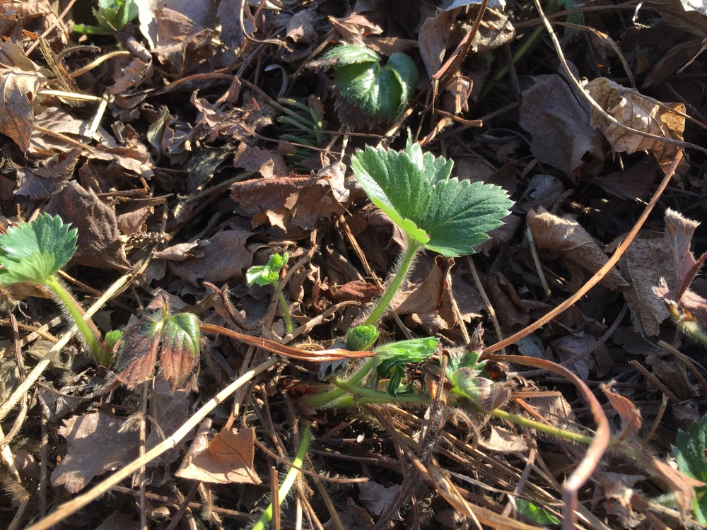 Strawberries coming back to life!