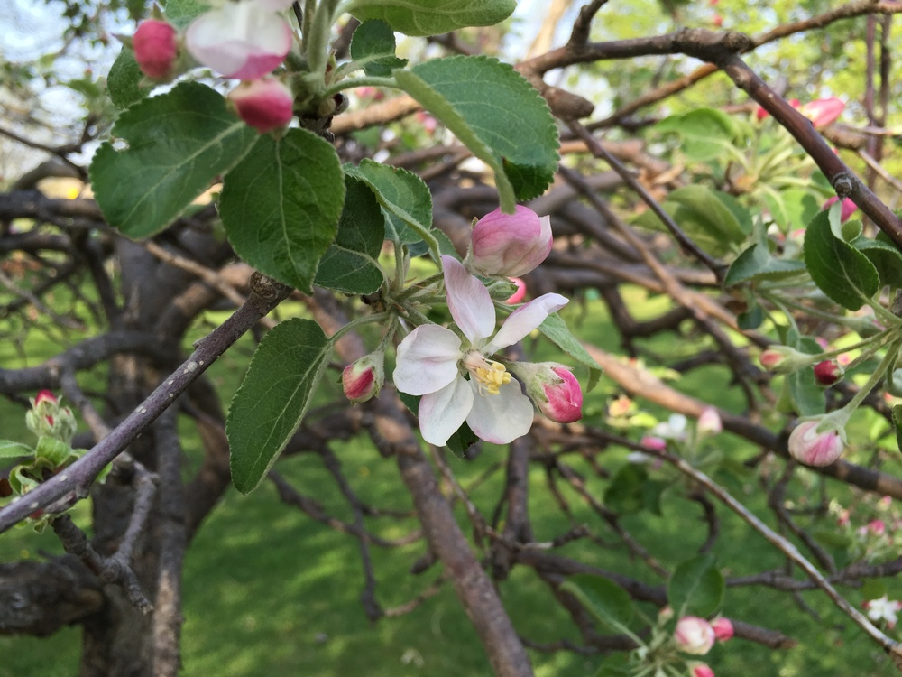 Bonus: apple tree blossom