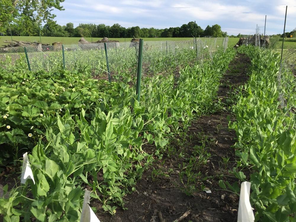 Peas latching onto their trellis.