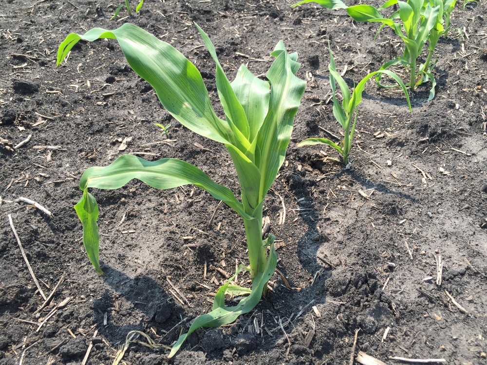 Sweet corn is looking really good!
