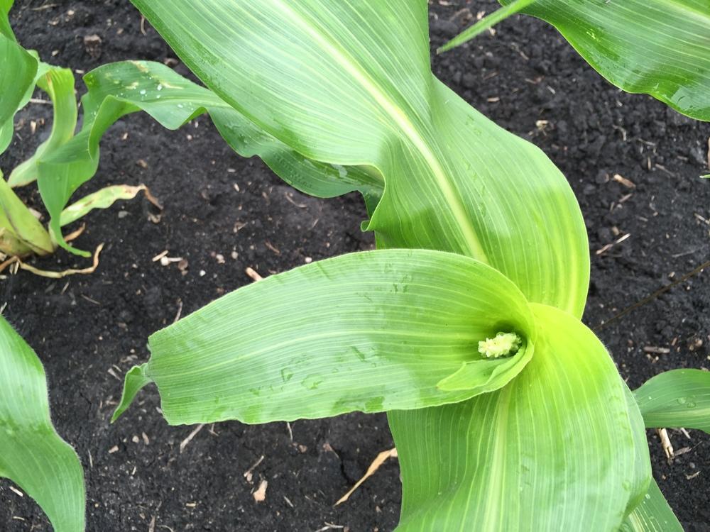 The first sweet corn tassle!