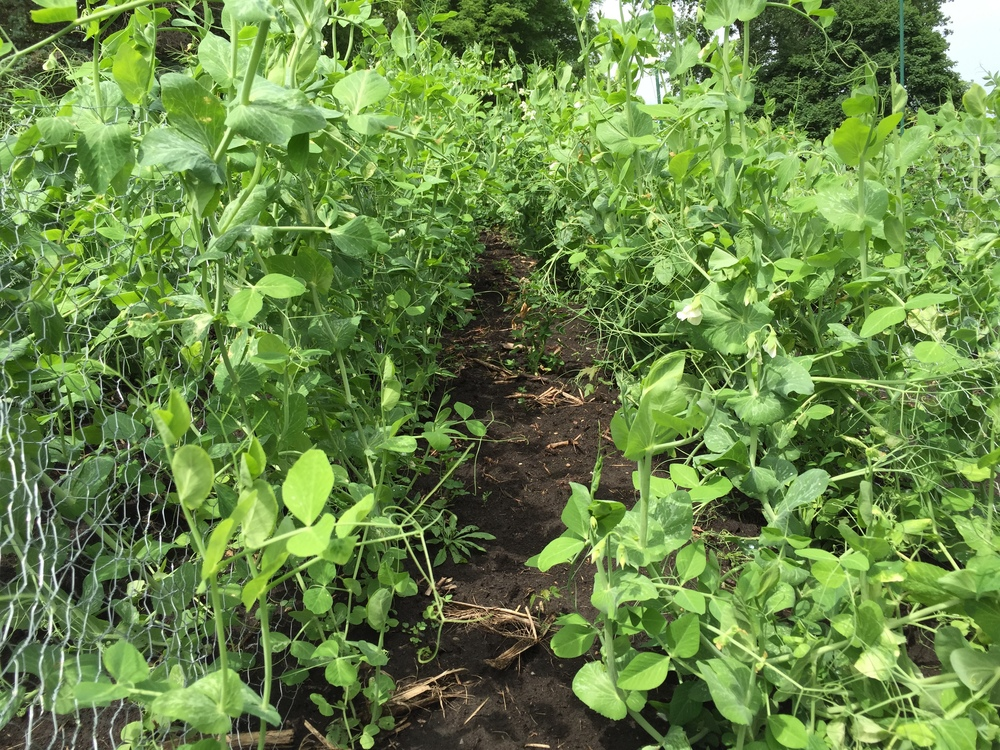 A jungle of peas