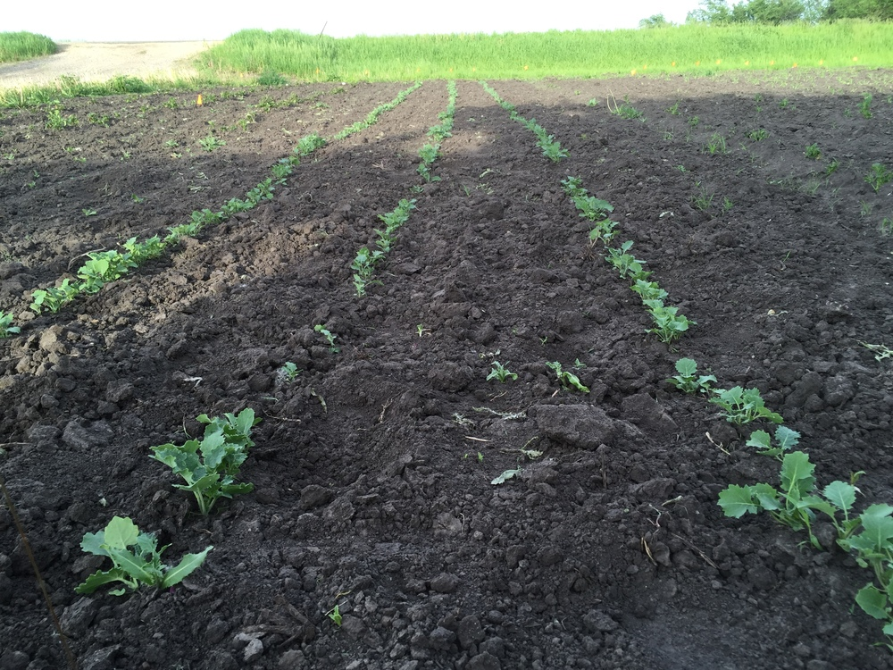 Kohlrabi are looking great!